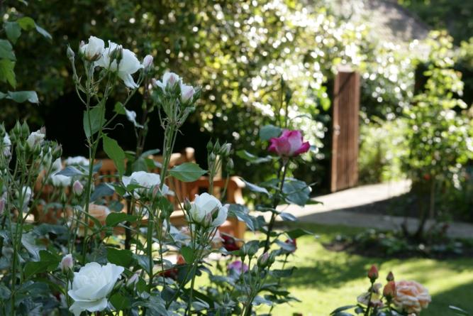 Remembering Maira Back Garden White Roses